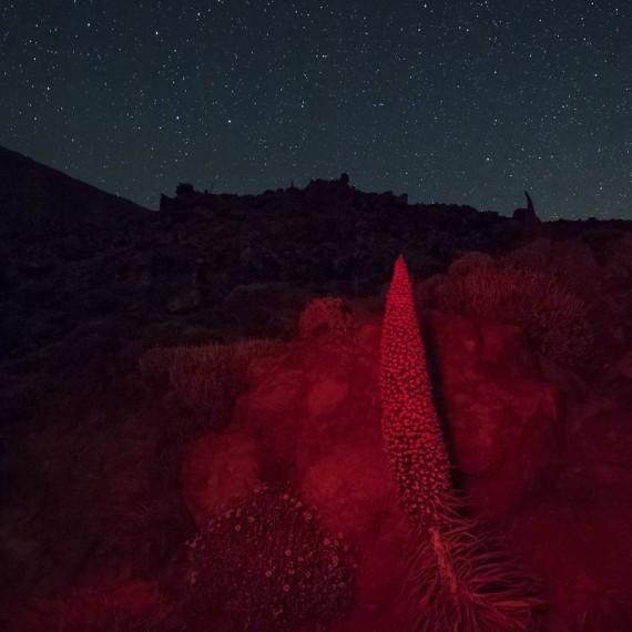 Tajinaste, Natternkopf, Caldera, Teide, Teneriffa
