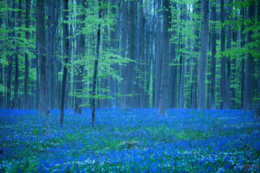 Hallerbos Bluebells