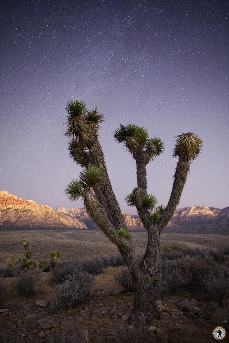 Jushua Tree - Mojave Desert - Red Rock State Park