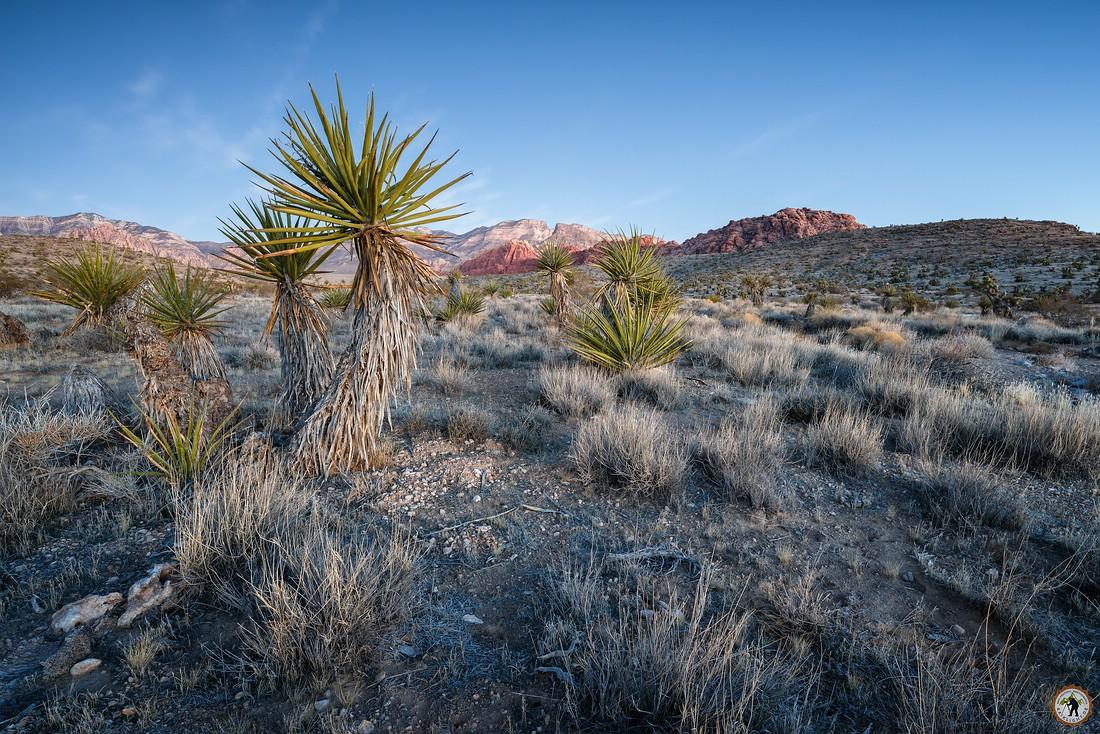 Joshua Tree Red Rock Canyon