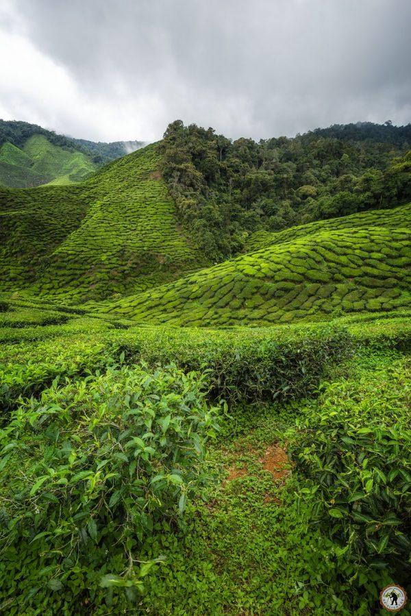 Cameron Highlands Tee Plantagen