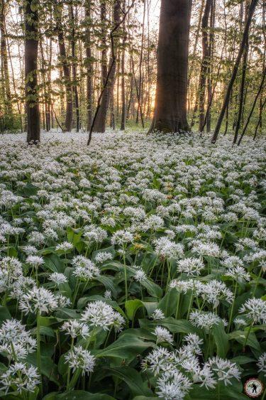 Bärlauchblüte Pfälzerwald