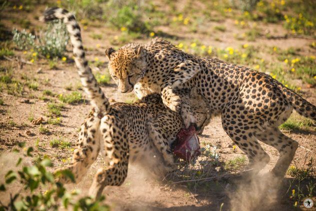 Cheetah - Geparden mit Pentax K-1 MKII