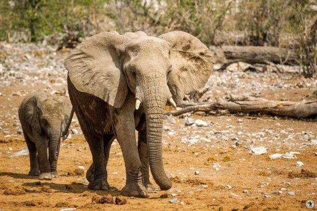 Elefant Etosha Namibia