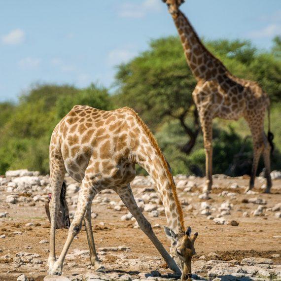 Giraffen Etosha Namibia