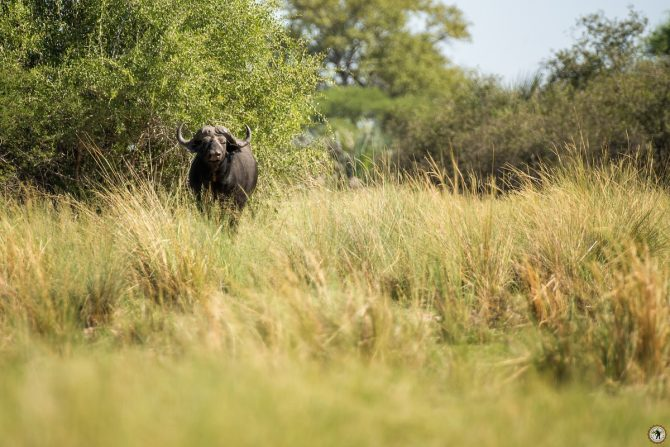 Büffel Caprivi Namibia