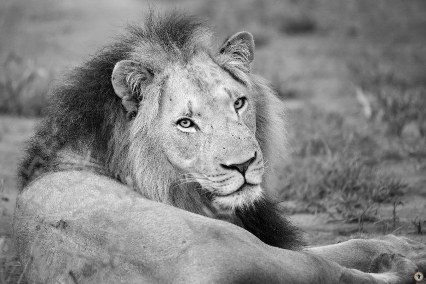 Löwe Hlane NP Swaziland