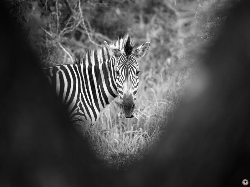 Zululand Lodge Zebra