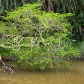 Fieberbaum im Fluss - der Lebensraum von Hippos und Krokodile