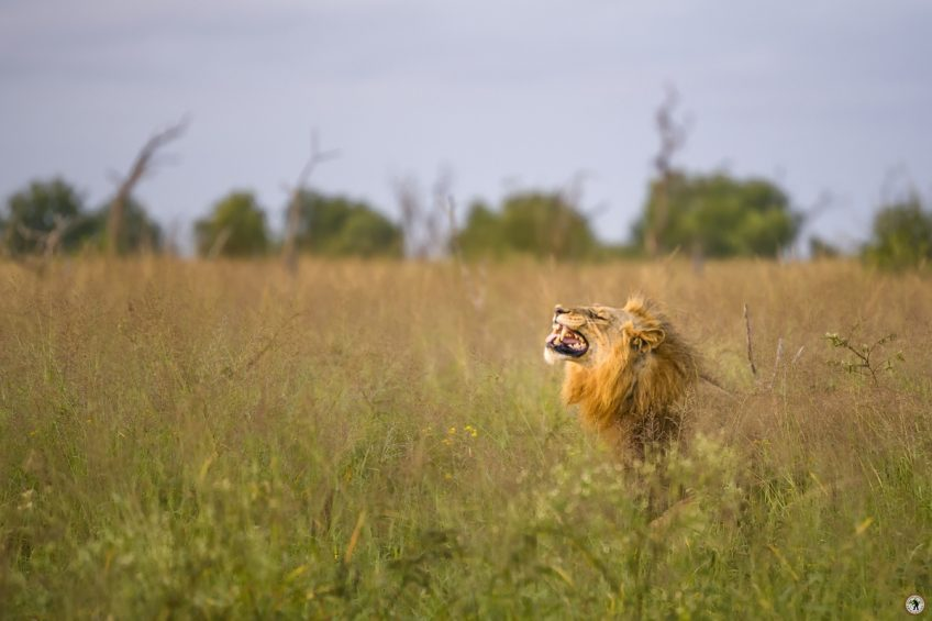 Hlane Löwe Swaziland